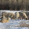 Sheep grazing and enjoying the sun