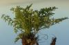 Uprooted Flixweed Seedling
