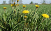 Dandelion in emerging crop