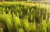 Horsetail seedlings