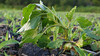 Healthy crop, wilting weed