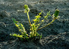 Dandelion on a furrowed field landscape, late May