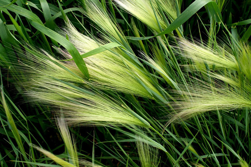 Green foxtail maturing in wheat