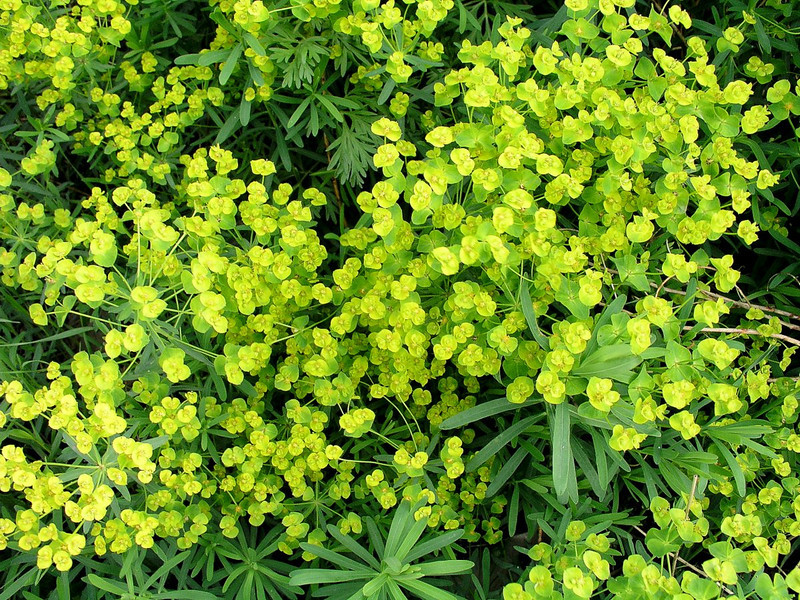 Leafy Spurge in flower