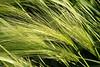 Green Foxtail