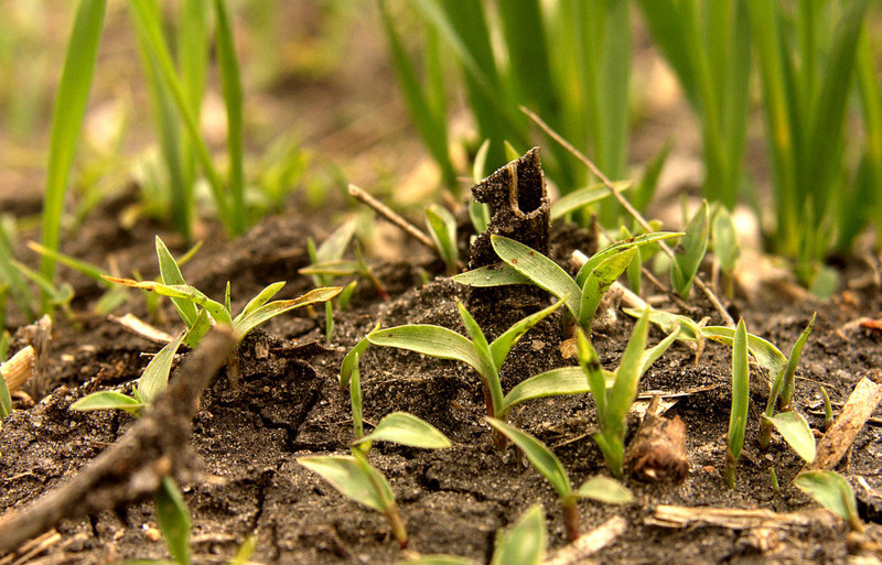 Green foxttail emerging in a cereal crop