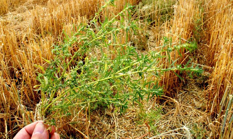 Kochia patch in winter wheat