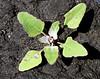 Goosefoot seedling