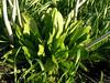 Plantain in canola stubble