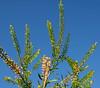 Peppergrass