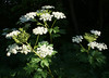 Poison hemlock patch