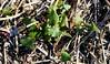 Wild Buckwheat