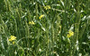 Volunteer canola blooming in trial plots at High Bluff research farm