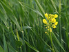 Volunteer canola in a wheat field along the Arden Ridge. Closeups. Wheat may have a rust.