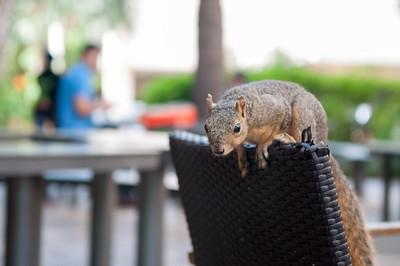 Campus squirrel pays a visit to people taking a break outside of Starbucks.
