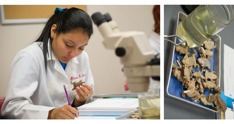 Miranda Garcia takes note of keying out and identifying Amphibians in Vertebrate Biology.