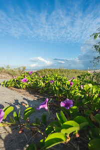 Salt marsh morning glory flowers bathe in the morning sunlight on the University Beach.