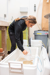 Jessie Caster - Dr. John Scarpa Graduate class works on balancing the solute levels between the cooler of shirmp and their new home in the tank.