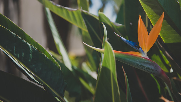 A bird of paradise flower blooms in one of our many flower beds on campus.