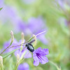 A Carpenter Bee relaxes on a purple flower on a beautiful day at the Island University.