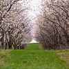 Record-Eagle/Jan-Michael Stump<br /> Sweet cherry blossoms, such as these off of Center Road on Old Mission Peninsula, are beginning to appear around the Grand Traverse region.
