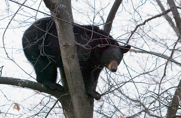 Record-Eagle/Douglas Tesner<br /> A 200-pound black bear took a break Wednesday in a tree on Plainview Avenue in Traverse City.