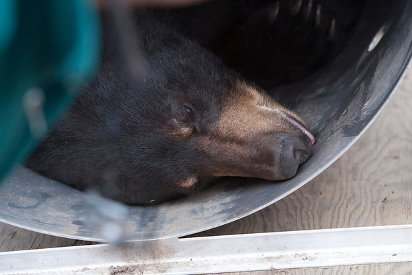 Record-Eagle/Douglas Tesner<br /> The bear lies in a cage after authorities sedate it.