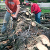 Record-Eagle/Douglas Tesner<br /> Tim Ramey, left, and Darin Woolgate, both employees of Northern Tree and Maintenance in Benzie County, work at cutting up an approximately 150-year-old white pine they took down on Old Mission Peninsula. According to John Schor, owner of Northern Tree and Maintenance, the tree was killed by pine beetles.