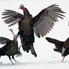 Record-Eagle/Jan-Michael Stump<br /> Photojournalist Jan-Michael Stump's photo of a turkey fight was awarded first place in the Michigan Press Photographers Association's annual contest in the Landscape/ Nature / Wildlife category.