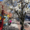 Record-Eagle/Keith King<br /> Blossoms from flowering pear trees line Front Street in downtown Traverse City.