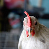 Record-Eagle/Keith King<br /> This is among the many chickens that will be shown by 4-H members at the annual Northwestern Michigan Fair.