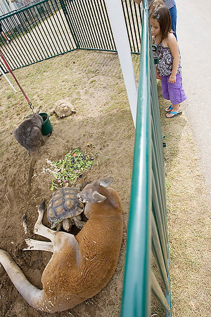 Record-Eagle/Keith King<br /> Cora Schwaiger, 5, of Traverse City, looks at exotic animals such as a sulcata tortoise, red kangaroo, eastern gray kangaroo and a wallaroo Friday, August 13, 2010 at the Northwestern Michigan Fair.