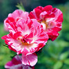 Record-Eagle/Vanessa McCray<br /> A Nashville rose from the Traverse City garden of Cathy Hamilton.