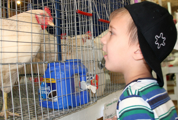 Record-Eagle/Laura Wright<br /> Branden Choike, 4, of Traverse City, peers at a Delaware chicken at the Northwestern Michigan Fair.