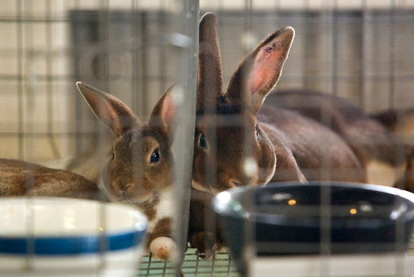 Record-Eagle photo/Jan-Michael Stump<br /> Mini Rex rabbits from Boardman Barnyard Buddies lay in their cages Sunday at the Northwestern Michigan Fair.
