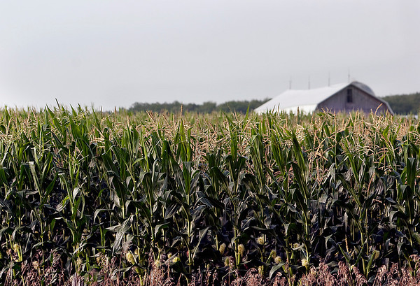 Record-Eagle/Douglas Tesner<br /> Experts expect a bumper corn crop this year in northern Michigan.