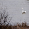 Record-Eagle/Jan-Michael Stump<br /> A swan hangs out in West Grand Traverse Bay in Bingham Township. A male swan was beaten to death by a jet skier on West Grand Traverse Bay in Greilickville last summer. The attacker was never caught.