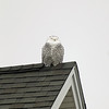 Record-Eagle/Keith King<br /> A snowy owl perches on a rooftop Tuesday, December 6, 2011 in the Midtown condominiums in Traverse City.