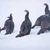 Record-Eagle/Jan-Michael Stump<br /> Turkeys walk through snow along Bunker Hill Road on Friday morning.