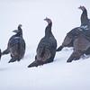 Record-Eagle/Jan-Michael Stump<br /> Turkeys walk through snow along Bunker Hill Road on Friday morning.