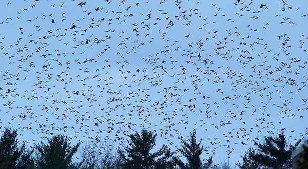 Record-Eagle/Douglas Tesner<br /> Hundreds of crows land in trees and fly through the air at the east end of the Northwestern Michigan College campus. As many as 2,000 crows have been congregating in the area each evening.