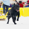 Record-Eagle/Keith King<br /> Missy, a black lab owned by Jeffrey Mezeske, of Brethren, runs as the Monster Dog Pull competition takes place Saturday during the Cherry Capital Winter WowFest.