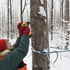 Record-Eagle/Keith King<br /> Diane Nemeth, of Rapid River Township, drills a hole in a sugar maple for a spile, which aids in the process of collecting sap so it can be turned into syrup.