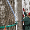 Record-Eagle/Keith King<br /> Diane Nemeth puts a spile in a sugar maple. A drop line off the spile collects sap so it can be turned into syrup.