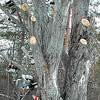 Record-Eagle/Sheri McWhirter<br /> State workers cut down branches from a well-known shoe tree along U.S. 131 north of Kalkaska, but will only chop the tree down if it dies, officials said.