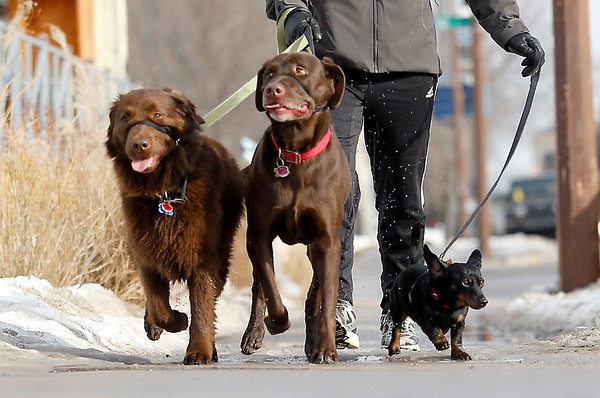 Record-Eagle/Jan-Michael Stump<br /> Mikaela Smith walks her chocolate lab/golden retriever mix, Moose, left, down West Front Street along with her parents' chocolate lab, Annie, center, and dachshund, Minnie, on a sunny Tuesday afternoon.