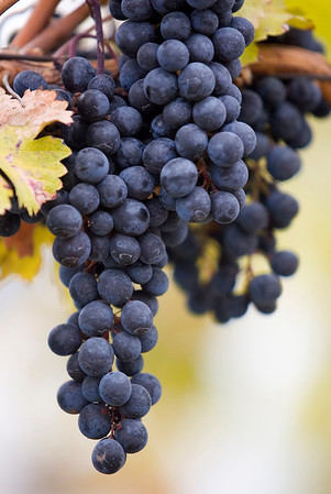 Record-Eagle file photo/Jan-Michael Stump<br /> Students at Northwestern Michigan College will be able to enroll in a new viticulture program this summer to study grape-growing in the region. These grapes were grown on Old Mission Peninsula.