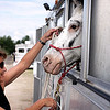 Record-Eagle/Keith King<br /> Jill Robiadek, of Cheboygan, prepares to take Dancer, her Appaloosa horse, out of its trailer.
