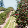 Record-Eagle/Douglas Tesner<br /> Cherry trees like these in Leelanau County south of Suttons Bay are loaded with fruit as the region's annual cherry harvest approaches.