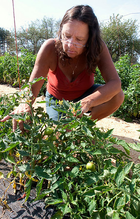 "Record-Eagle/Douglas Tesner<br /> Deb Purkiss checks the tomato plants at Sleeping Bear Orchards. ""Our tomatoes are most affected by the cooler weather,"" said Purkiss. ""They are about about three or four weeks behind,"" she added."